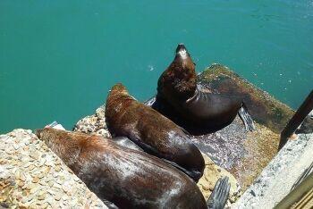 Seals, Kalk Bay harbour, Cape Town